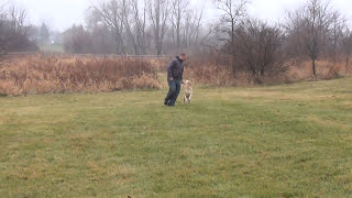 Golden Retriever Training (off-leash Heel)