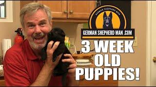 3 week old black German Shepherd puppies!!!