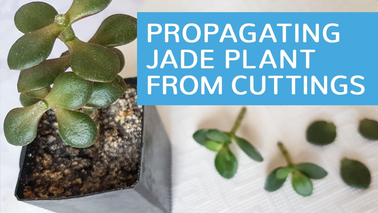 Propagating Crosbys Compact How To Grow Jade Plant From Leaf And