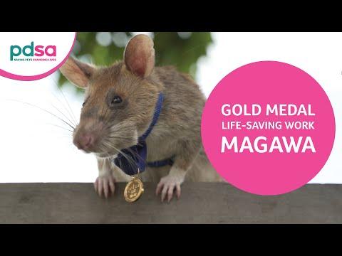 HeroRAT Magawa is awarded the PDSA Gold Medal