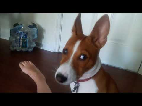 SHE LEFT US! Basenji Howling Compilation