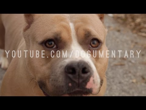 UNDERSTANDING THE AMERICAN BULLY DOG HAS A STANDARD