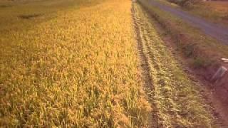 稲刈り風景です。 コンバイン クボタARN570 5条刈り.