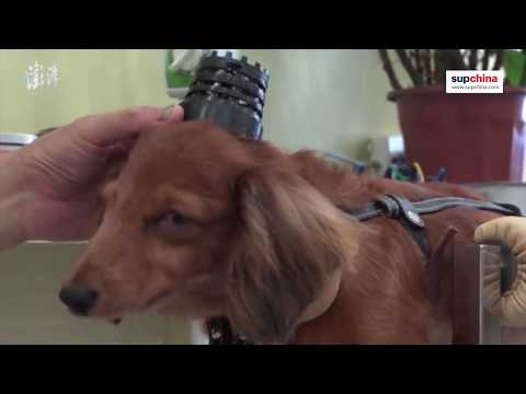 Chinese acupuncture for pets