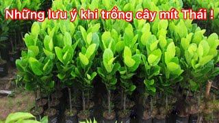 Những lưu ý khi trồng cây mít Thái - mít Thái siêu sớm !