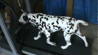 Dalmatian On Treadmill