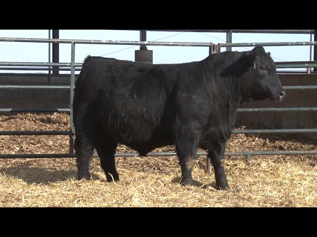 Schiefelbein Angus Farms Lot 120