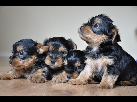 ADORABLE YORKIE TERRIER PUPPIES - Dogs Rescue Center