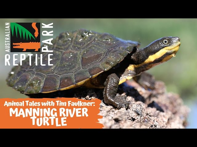 ANIMAL TALES WITH TIM FAULKNER | EPISODE 13 | MANNING RIVER TURTLE