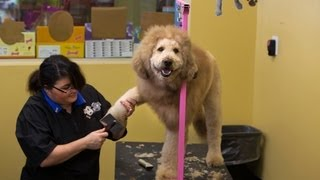 Charles The 'lion-dog' Gets His Haircut In Norfolk