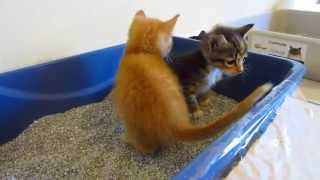 Three Adorable Foster Kittens Learning To Use The Litter Box - 3 Weeks Old - Orange & Torties