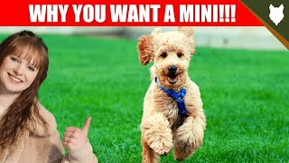 Why you SHOULD get a Miniature POODLE