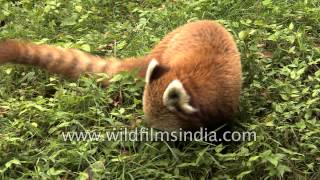 Cute Red Panda cleans its paws and forages in bamboo thicket