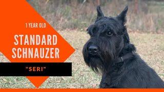 Seri | 1 Year Old Standard Schnauzer | Dog Training South Atlanta | Dog Boot Camp Atlanta