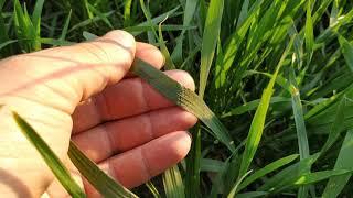 Обзор пшеницы после 40 кг. карбамида по листу