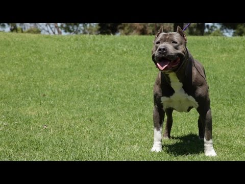 DIESEL DOGS - SOME OF THE FINEST XL PITBULLS YOU'LL SEE