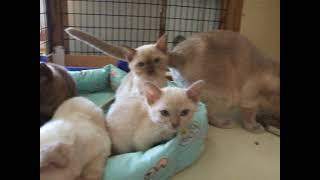 Zanadu Tonkinese kittens