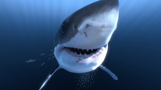 Great White Sharks 360 Video 4K!! - Close encounter on Amazing Virtual Dive thumbnail