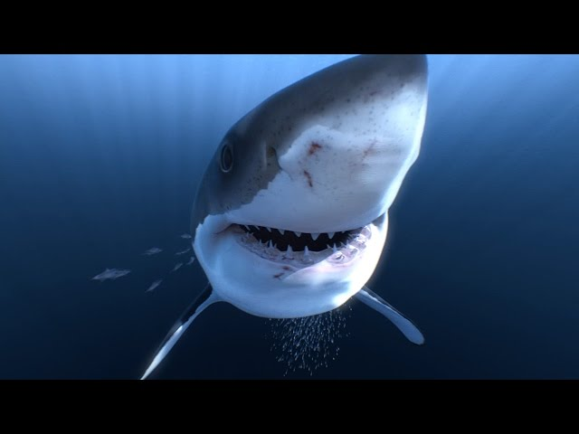 Great White Sharks 360 Video 4K!! - Close encounter on Amazing Virtual Dive