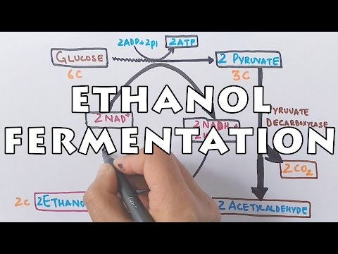 Ethanol Fermentation | Process of Alcohol Formation