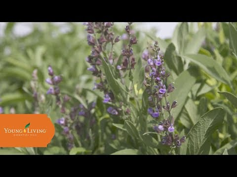 non-gmo-essential-oils-|-young-living-essential-oils