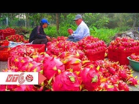 Người Trung Quốc chơi trò thu mua hoa thanh long  | VTC
