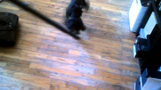 Poodle With A Mohawk Attacks Vacuum Cleaner