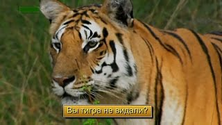 "По фильму ""След тигра"". Вы тигра не видали?"