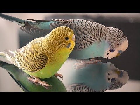 Budgie Sounds - Cookie singing to Biscuit
