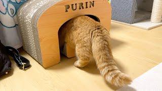 僕のおもちゃ隠したでしょ!探す姿がかわいい猫