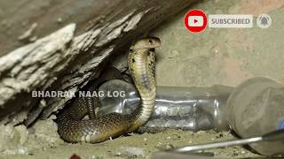 Spitting Monocled Cobra Rescue From: Markona, Balasore