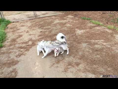 Carlie, the outgoing AKK puppy   Husky Palace