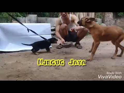 jual-rottweiler-anakan-mental-baja