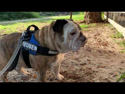 Reuben the Bulldog: Father's Day Walk