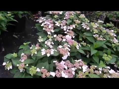 Hydrangea Serrata Lacecap Bluebird 5 gal