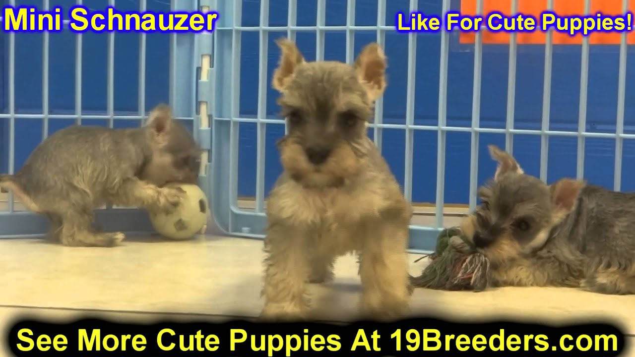 Miniature Schnauzer Puppies For Sale In Lewiston Maine Me