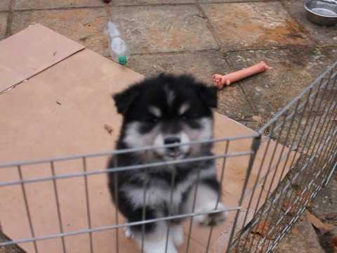 Finnish Lapphund Puppies Playing
