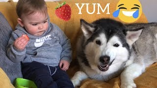 Husky & Baby Pulls Funny Faces Whilst Eating Stawberries Will Make You Smile!!