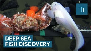 A new deep sea fish has been discovered