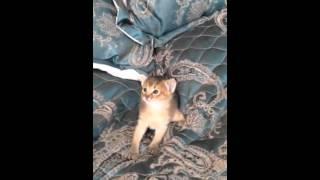 Абиссинские котята продажа