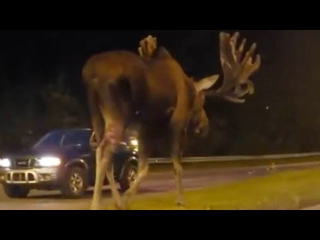 Don T Moose Around Clip Of Moose Walking Down Road In Alaska Gets 1 5mln Hits On Facebook Youtube