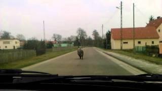 Dzik na drodze 2016