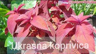 Razmnozavanje jadranska lepotica Aptenia cordifolia