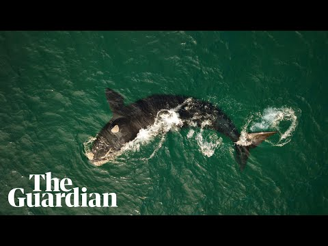 Breathtaking drone footage captures endangered southern right whales off NSW coast