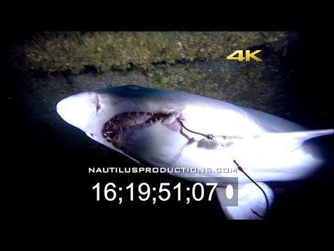 sand-tiger-sharks-03-4k-uhd-stock-footage-nautilus-productions