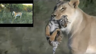Lioness helps tigress to raise cubs thumbnail