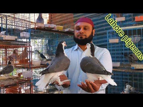 Imported lahore pigeon farm | unique lahore siraji pigeons | Fancy Pigeon