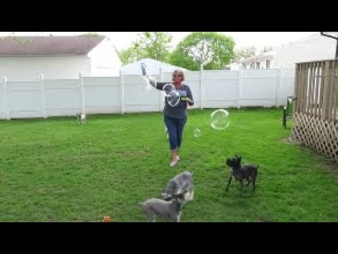 Schnauzers and Bubbles | Dog Mom Life