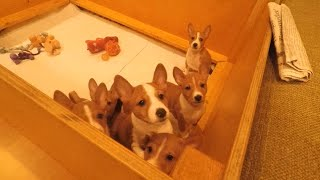 Basenji puppies having fun!