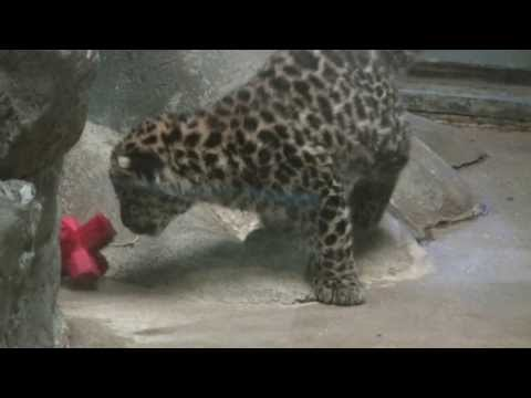 Baby Amur Leopard